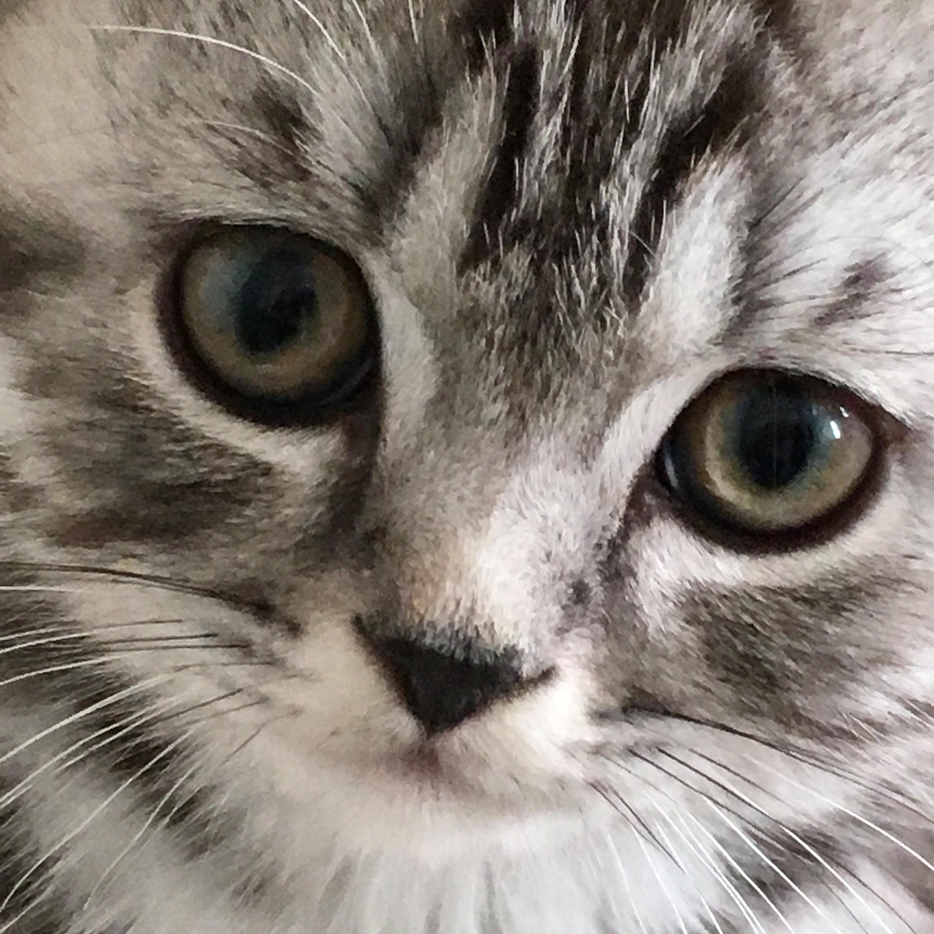 The Silver Tabby British Shorthair Cat Bombadillo Kittens