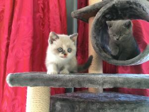 British shorthair kittens on the Pets at Home cat tower