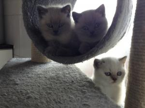 Blue and lilac bicolour colourpoint kittens