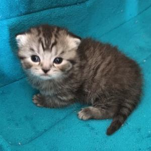 British Shorthair kitten silver mackerel tabby kitten