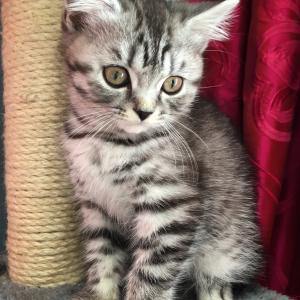 Silver mackerel tabby British Shorthair kitten at 10 weeks old