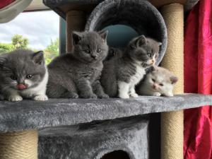 litter tray hygiene for British Shorthair kittens