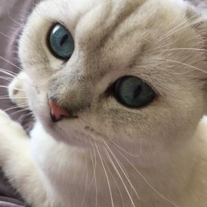 silver shaded colourpoint british shorthair