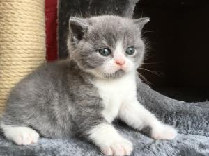 Blue Kittens For Sale : Kitten availability bombadillo british shorthair kittens