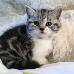 Muffin silver tabby bicolour British Shorthair kitten