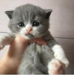blue bicolour british shorthair kitten