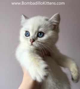 colourpoint british shorthair kittens for sale