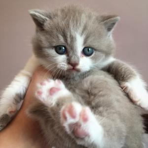 lilac bicolour british shorthair kitten