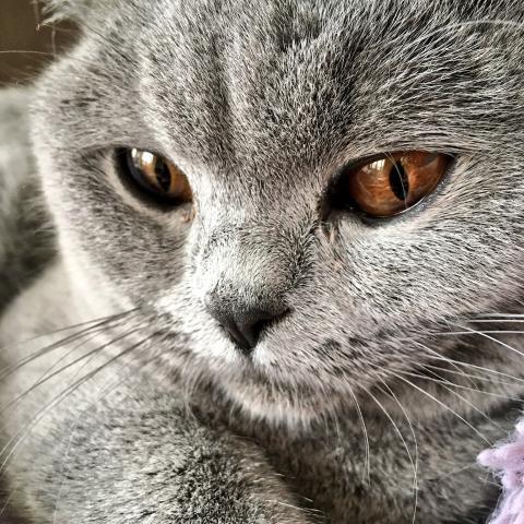 British Shorthair Colours Bombadillo Kittens
