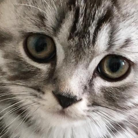 The Silver Tabby British Shorthair cat | Bombadillo Kittens