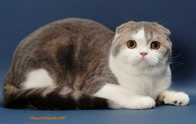 Scottish Fold health problems