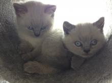 Blue colourpoint British Shorthair kittens with blue eye colour