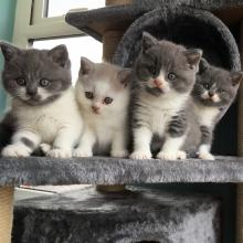 Bicolour British Shorthair kittens for sale