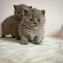 What to feed a cat lilac British Shorthair